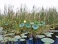 Florida Swamp - panoramio (5).jpg