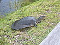 Florida softshell turtle.JPG