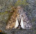 Flounced Rustic. Luperina testacea (4987466033).jpg