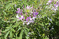 Flower 2 (21732743392).jpg