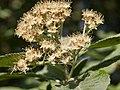 Flowering tree (9057937792).jpg