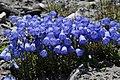 Flowerpower of Gentianes, uphill Evolene in a rocky environment - panoramio.jpg
