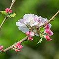 Flowers of Malus domestica (22).jpg