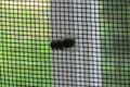 Fly on insect net 20060621 002.jpg
