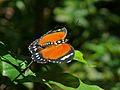 Forester (Euphaedra alacris) (6930686346).jpg