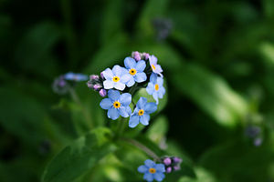 English: forget-me-not flowers