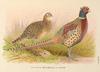 Formosan Ring-necked Pheasant by H. Jones