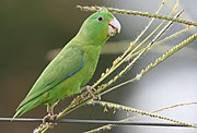 A green parrot with blue-tipped wings
