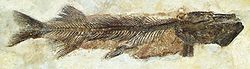 meaning of esox