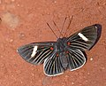 Four-spot Pixie (Melanis hillapana cratippa) (27849712796).jpg