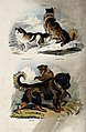 Four dogs; Above, a Makenzie River dog and a Esquimaux dog, Wellcome V0020811.jpg