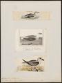 Fulmarus lessoni - 1700-1880 - Print - Iconographia Zoologica - Special Collections University of Amsterdam - UBA01 IZ17900090.tif