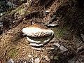 Fungi - panoramio (2).jpg