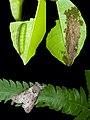 Gadirtha pulchra (26832704066).jpg