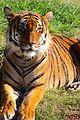 Gahara the Malayan Tiger.jpg