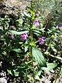 Galeopsis ladanum s. str. sl10.jpg