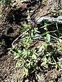 Galeopsis ladanum s. str. sl5.jpg