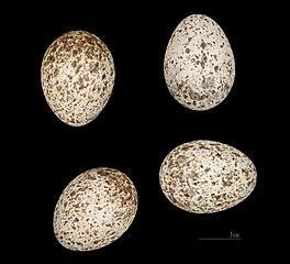Pipíška chochlatá (Galerida cristata) - vajíčka