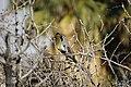 Gambel's quail (Callipepla gambelii).jpg