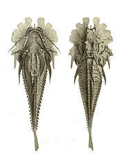 Gargariscus prionocephalus