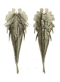 Gargariscus prionocephalus.jpg