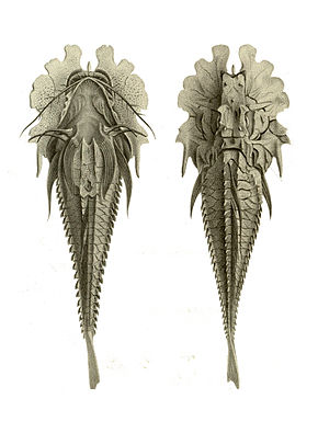 Description de l'image  Gargariscus prionocephalus.jpg.