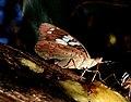 Gaudy Baron Euthalia lubentina female by Raju Kasambe DSCN3158 (7).jpg