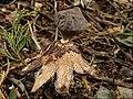Geastrum coronatum Pers 711779.jpg