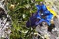 Gentiana acaulis-4575 - Flickr - Ragnhild & Neil Crawford.jpg
