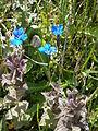 Gentiana bavarica & Bartsia alpina.jpg