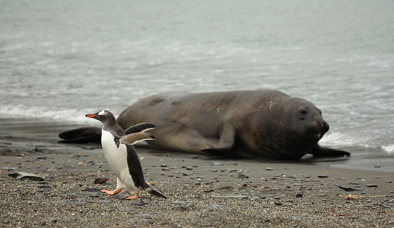 File:Gentoo Penguin gets out of the way of a Southern Elephant Seal (5798488682).jpg