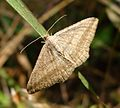 Geometridae - Flickr - gailhampshire (1).jpg