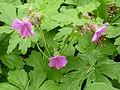 Geranium macrorrhizum (Kowal garden).jpg