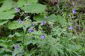 Geranium sylvaticumHabit.JPG