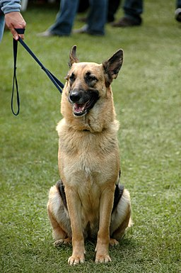 German Shepherd Dog sitting leash