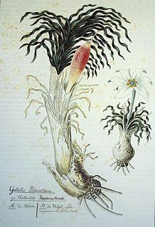 <i>Gethyllis</i> Genus of flowering plants