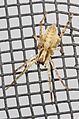 Ghost Spider - Hibana gracilis, Woodbridge, Virginia - 01.jpg