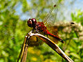 Giant rebus - Red Dragonfly (by).jpg