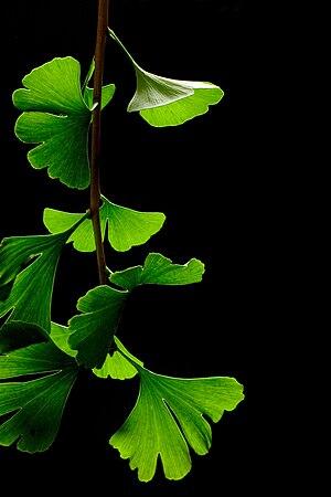 Ginkgo Biloba Leaves with black background
