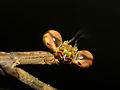 Giraffe Mantis (Euchomenella heteroptera) female close-up (15658303711).jpg