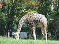 Giraffe in mysore zoo 2.jpg