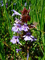 Glechoma hederacea 1a.jpg