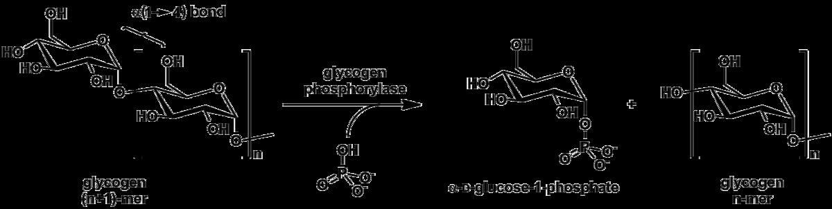 Phosphorolysis Wikiwand