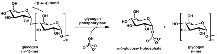 Glycogen phosphorylase stereo.png