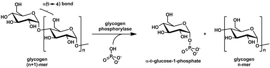 Action of Glycogen Phosphorylase on Glycogen