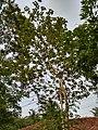 Gmelina arborea - Gamhar, Kumbil 4.jpg