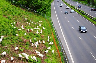 Goats managing the landscape alongside German autobahn A59. Goats in landscape management at German Highway A 59. Spielvogel 2013.jpg