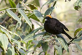 Gold-naped Finch Old Silk Route, East Sikkim, India 23 April 2015.jpg
