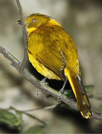 Golden bowerbird - Image: Golden Bowerbird 2