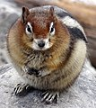 Golden mantled ground squirrel Moraine Lake 2014.jpg